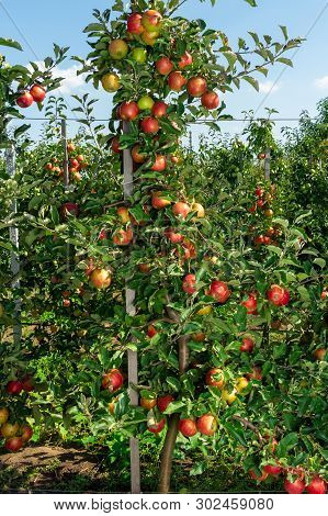 Industrial Apple Orchard. The Apple Tree Is Tied Up On Trellis With Ripe Fruits Close Up