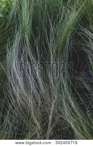 Long Green And Gray Grass On The Lawn Is Like Hair