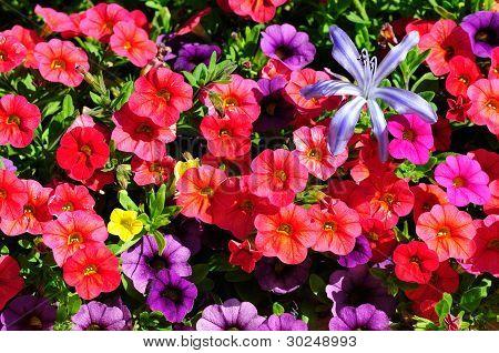 Flowering Petunia Dwarf