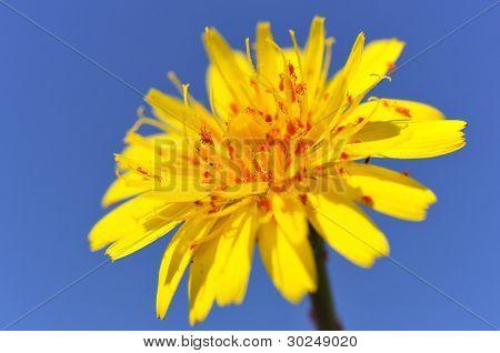 Genus dandelion with red acarids