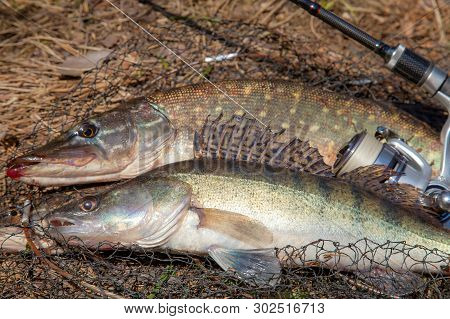 Fishing concept, trophy catch - big freshwater zander fish know as sander lucioperca, pike fish know as Esox Lucius just taken from the water and fishing rod with reel on round keepnet with fishery catch in it on yellow dry grass. poster