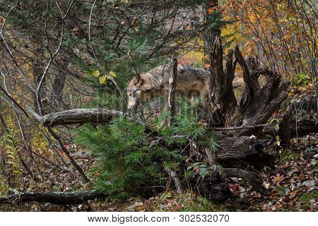 Grey Wolf (canis Lupus) Climbs Into Root Bundle Autumn - Captive Animal