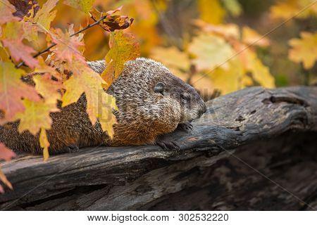 Woodchuck (marmota Monax) Sits On Log With Autumn Leaves - Captive Animal