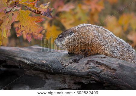 Woodchuck (marmota Monax) Looks Left Atop Log Autumn - Captive Animal