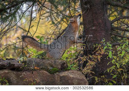 Grey Fox (urocyon Cinereoargenteus) Looks Up Side Of Tree Autumn - Captive Animal