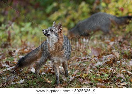 Grey Fox (urocyon Cinereoargenteus) Looks Ups Another In Background Autumn - Captive Animals