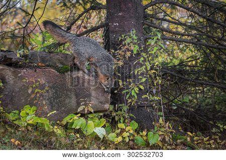 Grey Fox (urocyon Cinereoargenteus) Looks To Jump Down Rock Autumn - Captive Animal