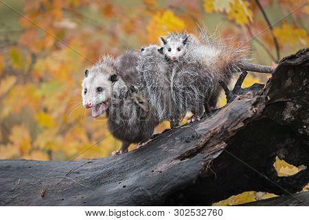Opossum (didelphimorphia) Mouth Open With Joeys Autumn - Captive Animals