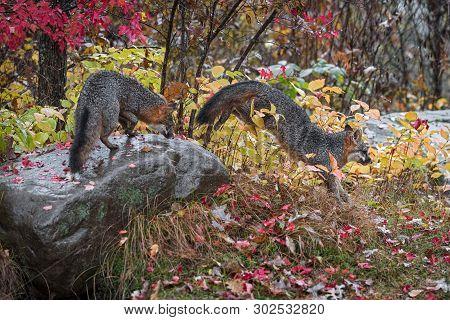 Grey Fox (urocyon Cinereoargenteus) Jumps Off Rock Another Atop Autumn - Captive Animals