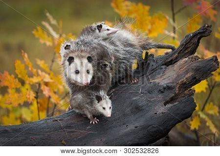 Opossum (didelphimorphia) Stands With Joeys At End Of Log Autumn - Captive Animals