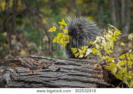 Porcupine (erethizon Dorsatum) Munches On Leaves On Branch Autumn - Captive Animal