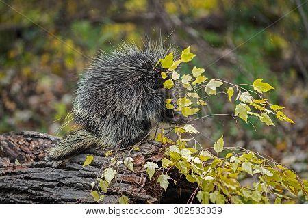 Porcupine (erethizon Dorsatum) Grabs At Leafy Branch In Rain Autumn - Captive Animal