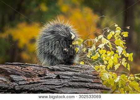 Porcupine (erethizon Dorsatum) Chews On Leaves In Rain Autumn - Captive Animal