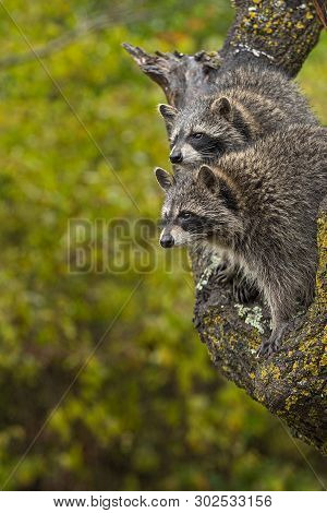 Pair Of Raccoons (procyon Lotor) Look Left From Tree Autumn - Captive Animals