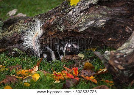 Eastern Spotted Skunk (spilogale Putorius) Turns Around Under Log Autumn - Captive Animal