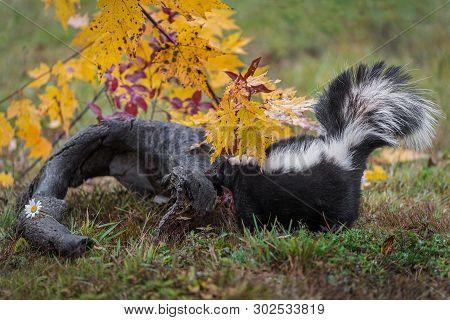 Striped Skunk (mephitis Mephitis) Sniggs At Log Autumn - Captive Animal