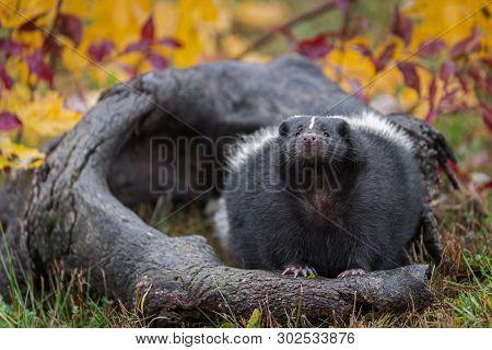 Striped Skunk (mephitis Mephitis) Looks Up From Log Autumn - Captive Animal