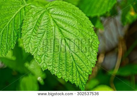 One Big Green Wet Raspberry Leaf With Water Drops