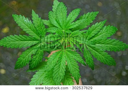 Hand Holding A Green Bush Of Marijuana With Leaves On A Gray Background
