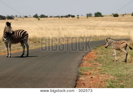 zebra mother protecting her baby zebra crossing the road poster