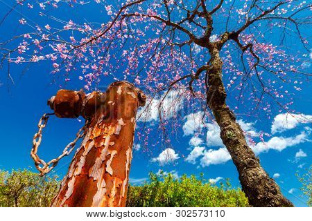 Rusty fire hydrant and blooming cherry tree in Japan