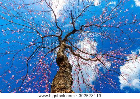 Dynamic view from below of a Japanese cherry tree blooming under a deep blue sky.
