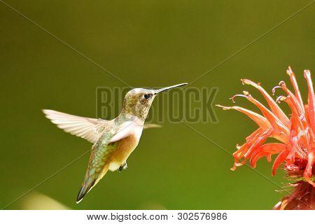 Hummingbird, Wildlife, Nature, Bird, Rufous, Avian, Rufous Hummingbird, Wing, Ornithology, Feather,