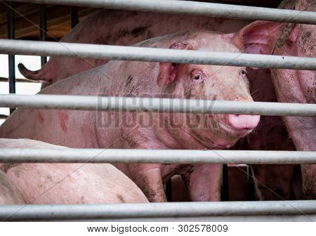 Pigs in truck transport from farm to slaughterhouse. Meat industry. Livestock. Animal meat market. Animals rights concept. Pig suffering and cruelty during delivery to pork processing factory. Swine.