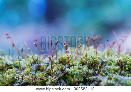 Moss In The Forest Close-up On A Blue Background. Concept Of Forest Nature, Microcosm, Macrocosm. Ma