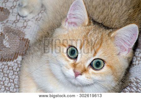 British Golden Ticked Kitten Close Up, Cute Pet