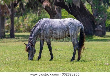Wild Horses At Cumberland Island National Seashore.