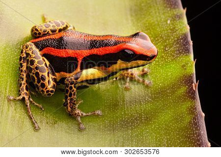 poison dart or arrow frog, Ranitomeya uakarii golden legs morph. A small Dendrobates from the Amazon rain forest in Peru. This animal lives in the tropical Amazon rain forest of Peru.