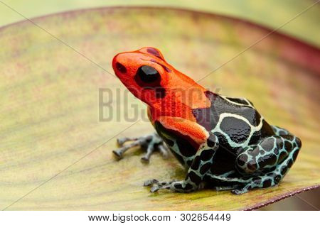 poison dart or arrow frog, Ranitomeya fantastica Monte Cristo morph. A small red headed Dendrobates from the Amazon rain forest in Peru. This animal is an endangered species