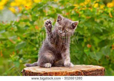 Gray Cute Kitten Pointing Up One Paw. Funny Pretty Kitten Sitting & Voting In Election By Raicing Up