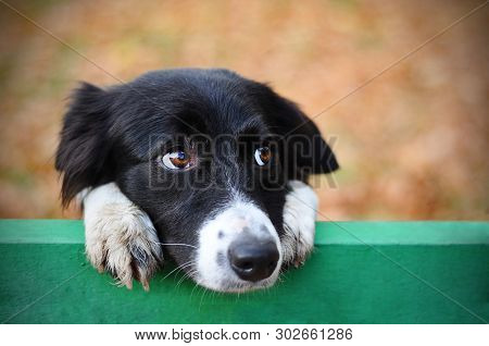 Stray Sad Black White Dog In Autumn Park Looking Depressed. Homeless Witty Dog With Sad Eyes Lookin