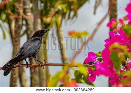 A Male Carib Grackle Perched In A Bush In St. Lucia