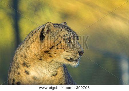 Leopards Stare