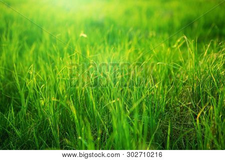 Spring Fresh Bright Green Grass At Sunset On A Warm Sunny Day. Background Of A Green Grass. Green Gr