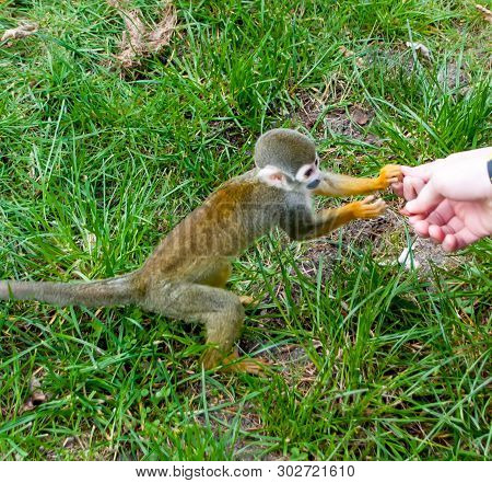 The Little Squirrel Monkey Saimiri Sciureus Sitting On The Grass Takes Food From The Hands
