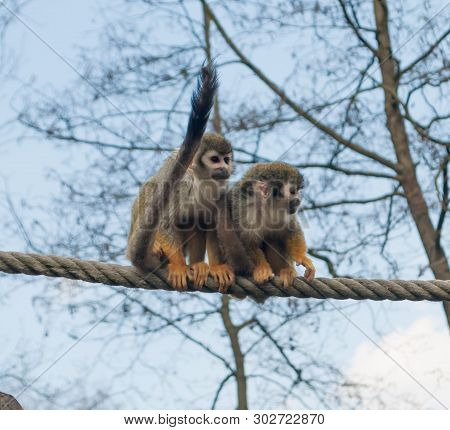 Two Squirrel Monkey Saimiri Sciureus On The Rope With The Blue Color Of Sky In The Background