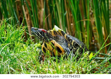 Red-eared Slider (trachemys Scripta Elegans) Emerging From A Pond. Also Known As The Red-eared Terra
