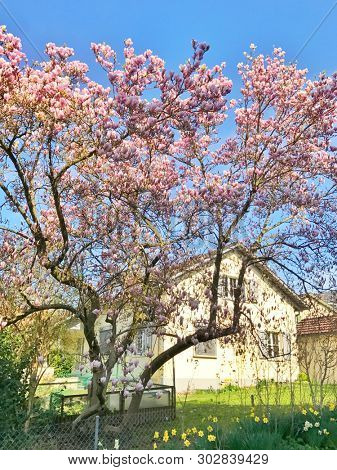 Pink magnolia flowering tree in front of a house
