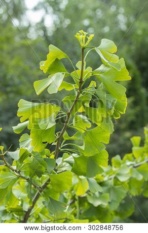 A Branch Of The Ginkgo Biloba Tree With Gently Green Leaves, A Fossil Dioecious Plant Used In Chines