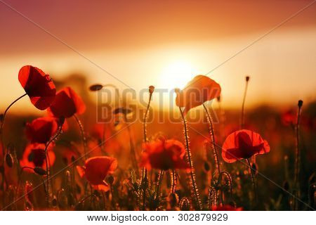 Beautiful Field Of Red Poppy. Majestic Sunset Lights Up With The Warm Light The Sky And The Field Of