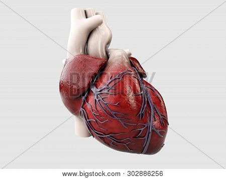 3d Illustration Of Anatomy Of Human Heart Isolated On Gray