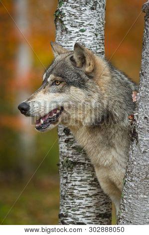 Grey Wolf (canis Lupus) Profile Between Birch Trees Autumn - Captive Animal