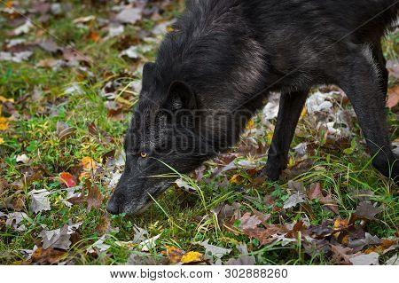 Black Phase Grey Wolf (canis Lupus) Nose To Ground Autumn - Captive Animal