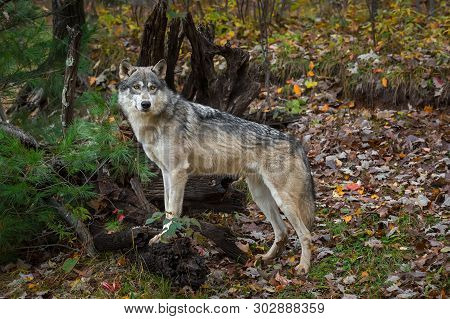 Grey Wolf (canis Lupus) Paws Up On Roots Autumn - Captive Animal