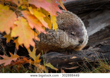 Woodchuck (marmota Monax) Looks Out From Within Log Autumn - Captive Animal
