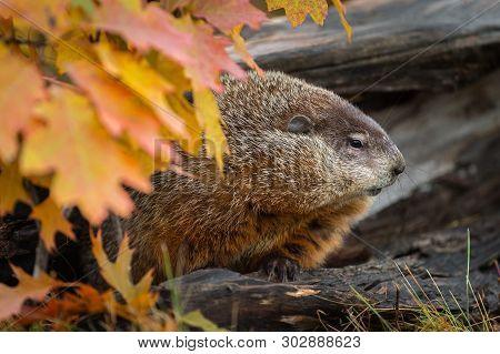 Woodchuck (marmota Monax) Looks Right From Within Log Autumn - Captive Animal